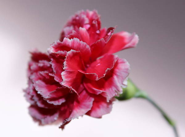 Carnation Photograph - Always Be With Me by Krissy Katsimbras