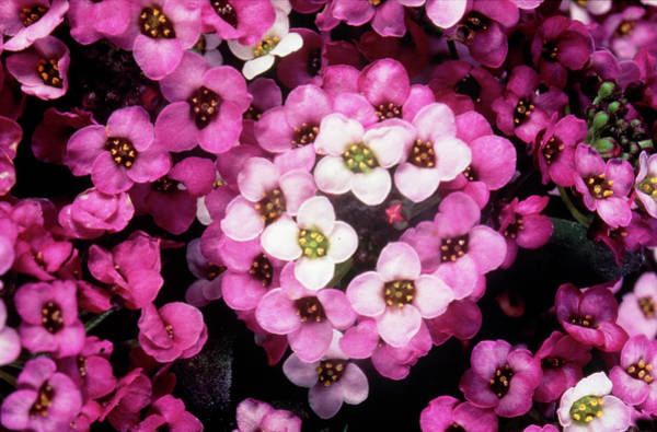 Rosie Wall Art - Photograph - Alyssum 'rosie O'day'. by Ray Lacey/science Photo Library