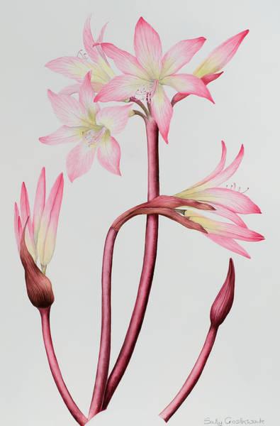 Amaryllis Painting - Amaryllis Belladonna by Sally Crosthwaite