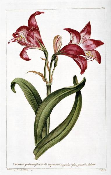 Natural History Photograph - Amaryllis Flower by Natural History Museum, London/science Photo Library