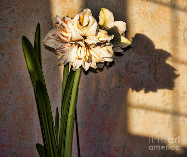 Photograph - Amaryllis In Evening Shade by Brenda Kean