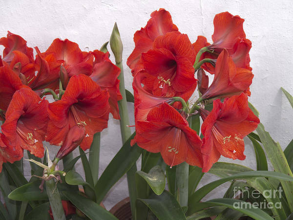 Photograph - Amaryllis Of Santorini by Brenda Kean