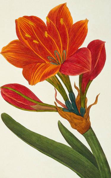 Amaryllis Painting - Amaryllis Purpurea by Pancrace Bessa