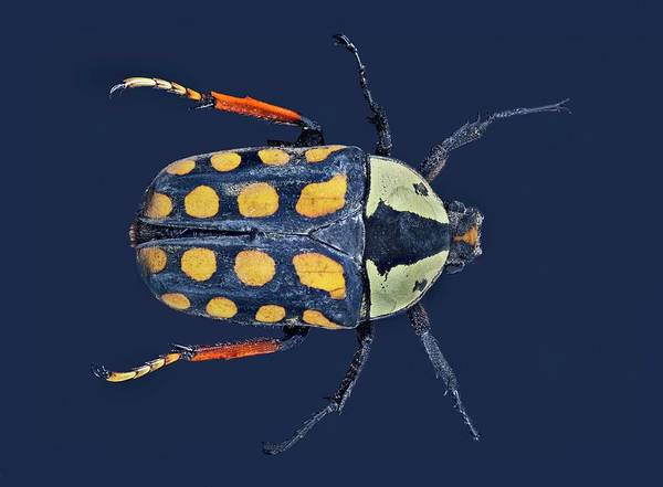 Wall Art - Photograph - Amaurodes Passerini Linnei Beetle by Frank Fox/science Photo Library