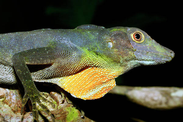 Green Anole Photograph - Amazon Green Anole by Dr Morley Read/science Photo Library