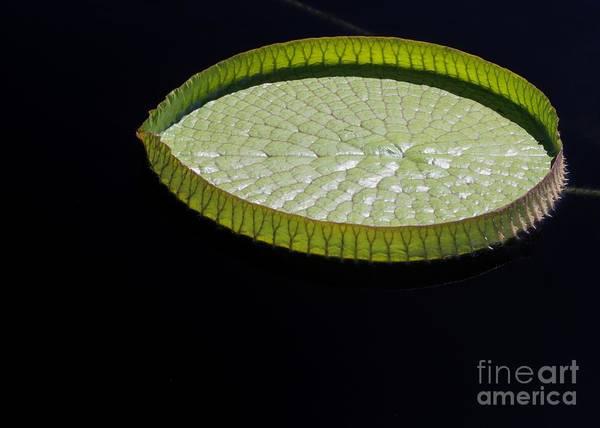 Photograph - Amazonian Lily Pad by Sabrina L Ryan
