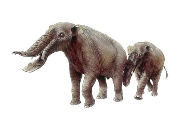 Wall Art - Photograph - Ambelodon by Michael Long/science Photo Library
