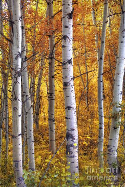 Aspen Forest Photograph - Amber Aspens by Marco Crupi