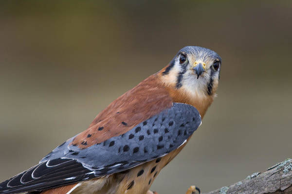 Photograph - America Kestral by Jack R Perry