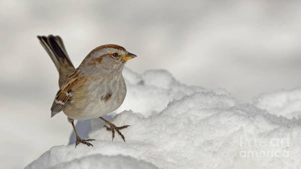 Shirleys Bay Photograph - America Tree Sparrow by Joshua McCullough