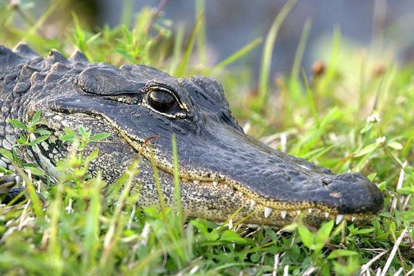 Florida Alligator Photograph - American Alligator by Bob Gibbons/science Photo Library