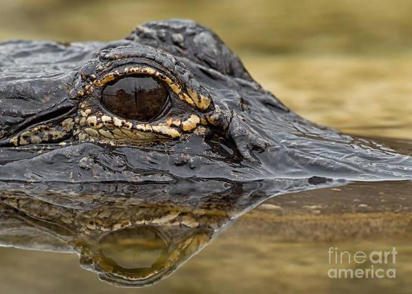 Joshua Clark Photograph - American Alligator by Joshua Clark