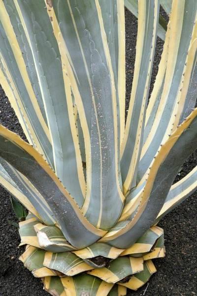 Sentry Wall Art - Photograph - American Aloe (agave Americana 'marginata Aurea') by Bob Gibbons/science Photo Library