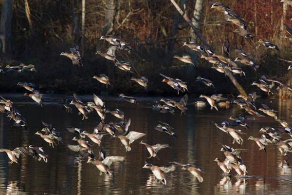 Wall Art - Photograph - American And Eurasian Wigeon Flock by Ken Archer