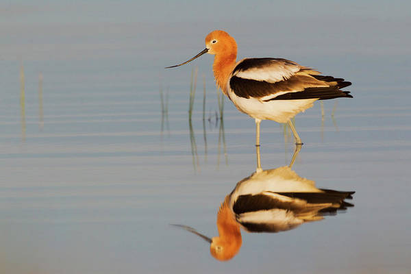 Wall Art - Photograph - American Avocet At Dawn by Ken Archer