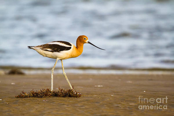 Wall Art - Photograph - American Avocet Before The Dusk by Ellie Teramoto