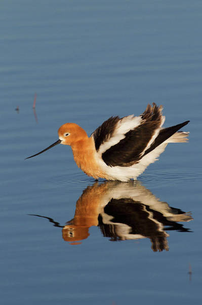 Oregon Wildlife Wall Art - Photograph - American Avocet by Ken Archer