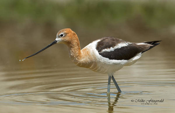 Photograph - American Avocet by Mike Fitzgerald
