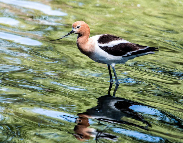 Wall Art - Photograph - American Avocet Reflects by Dawn Key