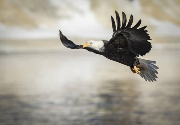 Haliaeetus Leucocephalus Photograph - American Bald Eagle 2015-22 by Thomas Young