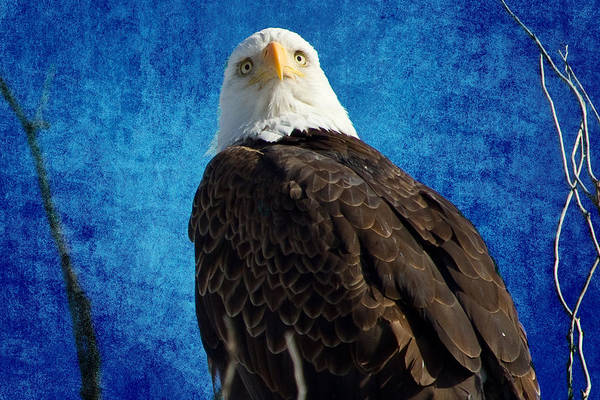 Photograph - American Bald Eagle Blues by James BO Insogna