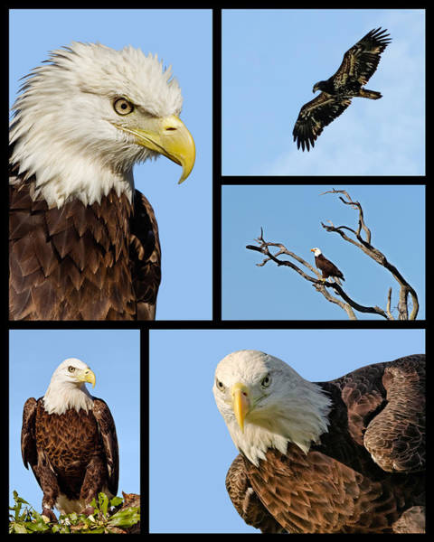 American Bald Eagle Collage Art Print