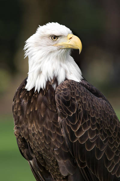 Photograph - American Bald Eagle by Dale Kincaid