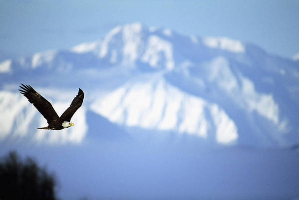 Bald Mountain Photograph - American Bald Eagle In Flight by Animal Images