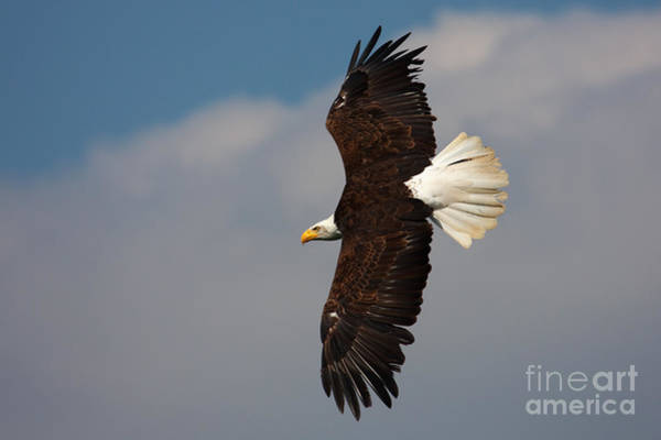 American Bald Eagle In Flight Art Print