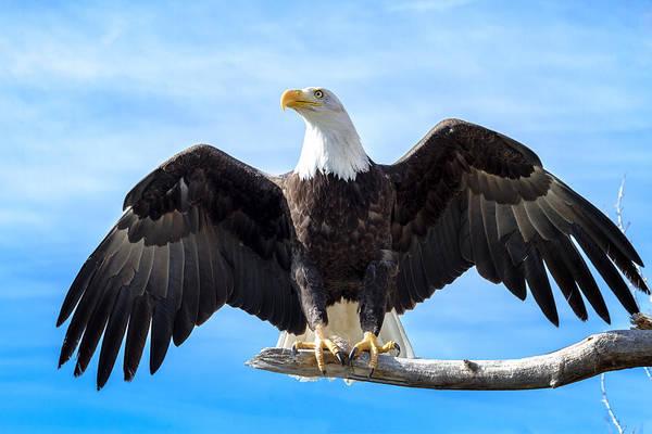 Photograph - American Bald Eagle Landing by Teri Virbickis