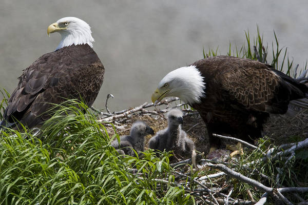 Wall Art - Photograph - American Bald Eagles, Haliaeetus by Roy Toft