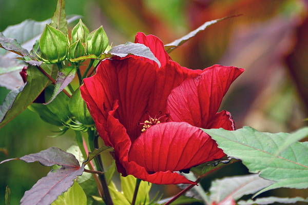 Photograph - American Beauty --- Hibiscus Coccineus by Byron Varvarigos