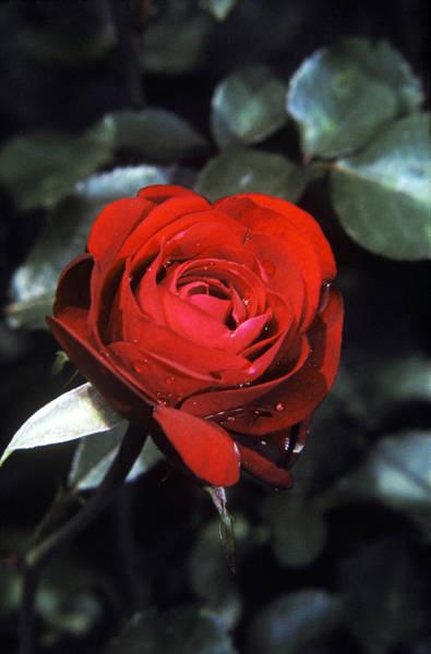 Muhlenberg Photograph - American Beauty Rose by Peter Muhlenberg