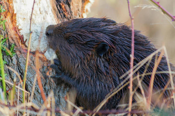 Chewing Wall Art - Photograph - American Beaver Chewing Down Tree by Ken Archer