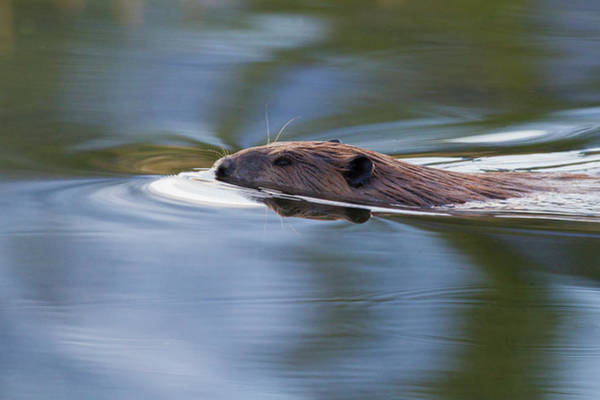 Beaver Pond Wall Art - Photograph - American Beaver Swimming In Pond by Ken Archer