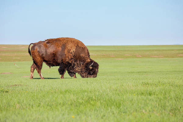 Clear Coat Wall Art - Photograph - American Bison Bison Bison Grazing by Ben Girardi