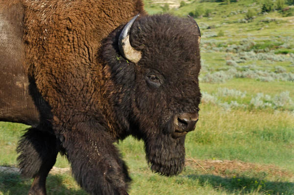 Wall Art - Photograph - American Bison Bull by Thomas And Pat Leeson