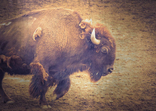 Wall Art - Photograph - American Bison by Caitlyn  Grasso