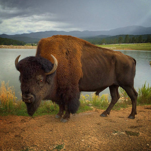 Photograph - American Bison by Dan Miller