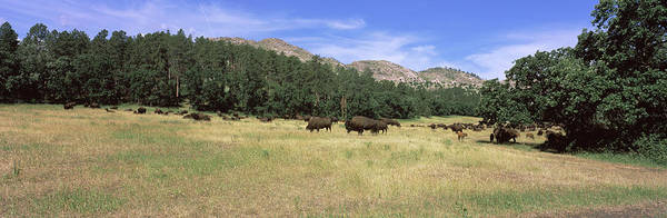 Wall Art - Photograph - American Bison Grazing On A Landscape by Animal Images