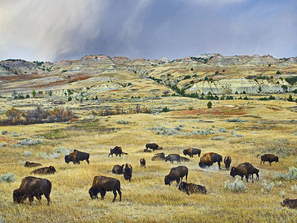 Photograph - American  Bison Herd Grazing by Tim Fitzharris