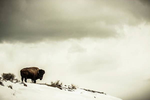 Bison Photograph - American Bison On The Top Of A Snowy by Tim Martin