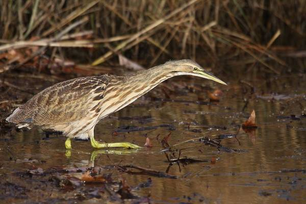 Photograph - American Bittern by Brian Magnier
