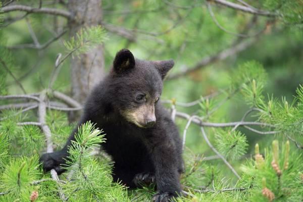 Canadian Fauna Photograph - American Black Bear Cub by Dr P. Marazzi