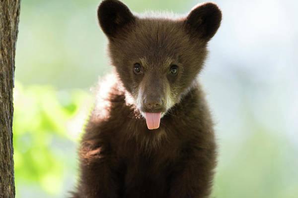 Ursidae Wall Art - Photograph - American Black Bear Cub by Dr P. Marazzi/science Photo Library