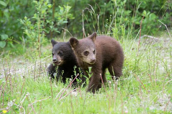 North American Wildlife Photograph - American Black Bear Cubs by Dr P. Marazzi