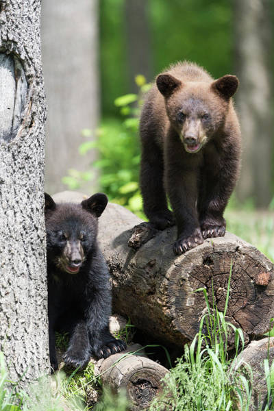 Ursidae Wall Art - Photograph - American Black Bear Cubs by Dr P. Marazzi/science Photo Library