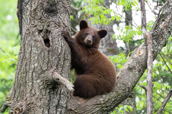 Ursidae Wall Art - Photograph - American Black Bear by Dr P. Marazzi/science Photo Library