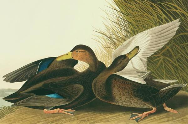 Aquatint Photograph - American Black Duck by Natural History Museum, London/science Photo Library
