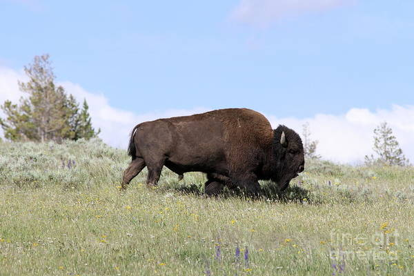 Wall Art - Photograph - American Buffalo  by Christiane Schulze Art And Photography